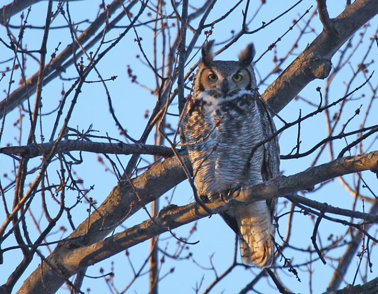 Great-Horned Owl Nesting