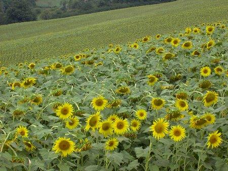 Sunflowers, Urbino