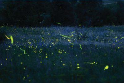 Fireflies by Carl Kurtz